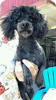 Toy Poodle Dog for adoption in Temecula, California - Amelia