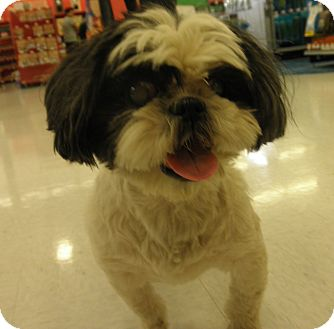 Shih Tzu Mix Dog for adoption in Highland Park, New Jersey - PEACHES