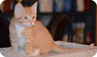 Domestic Shorthair Kitten for adoption in Milwaukee, Wisconsin - Vortex