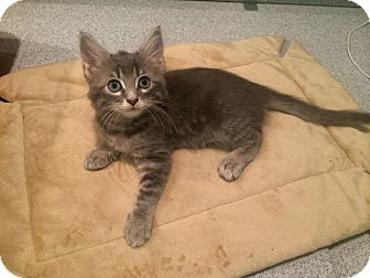 Maine Coon Kitten for adoption in Tampa, Florida - Quinn