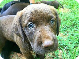 Labrador Retriever/English Springer Spaniel Mix Puppy for adoption in Charlotte, North Carolina - Marta