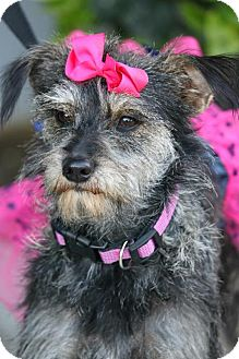 Terrier (Unknown Type, Small) Mix Dog for adoption in South El Monte, California - Eleanor Rigby