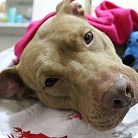 Adopt A Pet :: Lana fka Farzana - New York, NY
