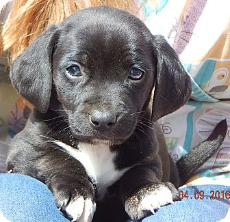 Dachshund/Terrier (Unknown Type, Small) Mix Puppy for adoption in West Sand Lake, New York - Angus (4 lb)