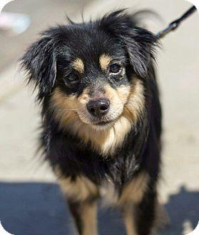 Sheltie, Shetland Sheepdog Mix Dog for adoption in Bronx, New York - Forest