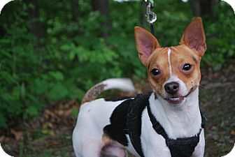 Chihuahua/Jack Russell Terrier Mix Dog for adoption in New Castle, Pennsylvania - Milo
