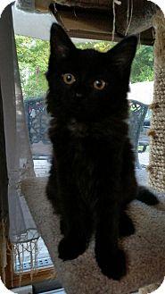 Domestic Mediumhair Kitten for adoption in Sparta, New Jersey - Drizella