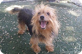 Yorkie, Yorkshire Terrier Mix Dog for adoption in Meridian, Idaho - Merida