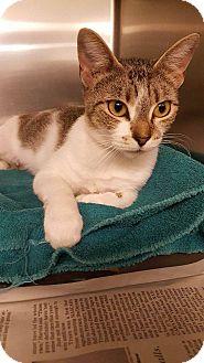 Domestic Shorthair Cat for adoption in Windsor, Virginia - Martha