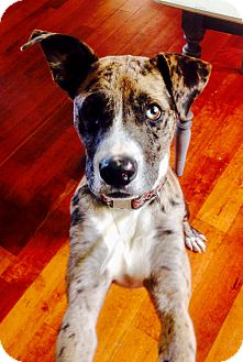 Catahoula Leopard Dog Dog for adoption in Goodlettsville, Tennessee - Tanner