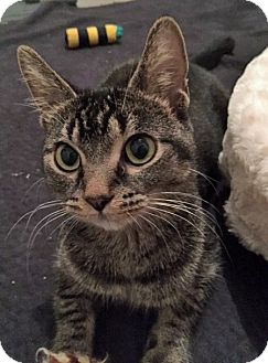 Abyssinian Cat for adoption in Troy, Michigan - River