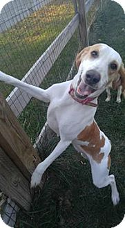 Coonhound Mix Dog for adoption in Florence, Kentucky - Lizzy