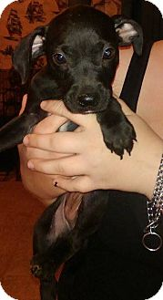 Chihuahua/Terrier (Unknown Type, Small) Mix Puppy for adoption in Earlville, New York - Luna