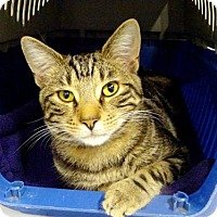 Domestic Shorthair Cat for adoption in Belleville, Michigan - Calvin