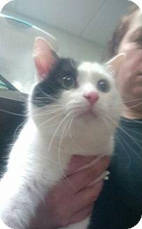 Domestic Longhair Cat for adoption in Saginaw, Michigan - Boo