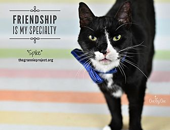 Domestic Shorthair Cat for adoption in Wayne, Pennsylvania - Spike