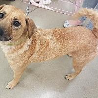 Adopt A Pet :: Jodie - Cleburne, TX