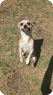 Chihuahua Dog for adoption in Palm Bay, Florida - Hoofie