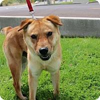 Chow Chow Mix Dog for adoption in Phoenix, Arizona - TUFF
