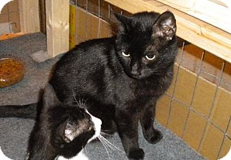 Domestic Shorthair Cat for adoption in Marlton, New Jersey - Bonnie