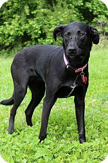 Labrador Retriever/Greyhound Mix Dog for adoption in Waldorf, Maryland - Lucy