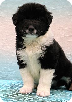 Border Collie/Labrador Retriever Mix Puppy for adoption in Bedminster, New Jersey - Charlie