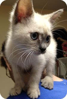 Siamese Kitten for adoption in Putnam Hall, Florida - PORTIA