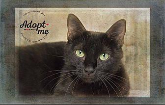 Domestic Shorthair Cat for adoption in Belton, Missouri - Libby