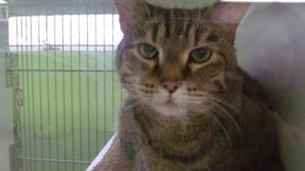 Domestic Shorthair/Domestic Shorthair Mix Cat for adoption in Muskegon, Michigan - Ru'purr't