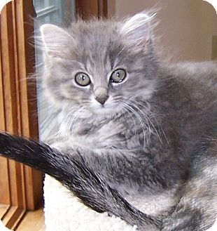 Maine Coon Kitten for adoption in Taylor Mill, Kentucky - Tia