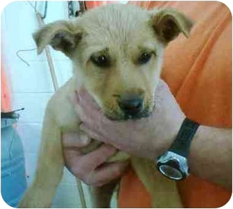 Labrador Retriever/Terrier (Unknown Type, Medium) Mix Puppy for adoption in Newnan, Georgia - Andy