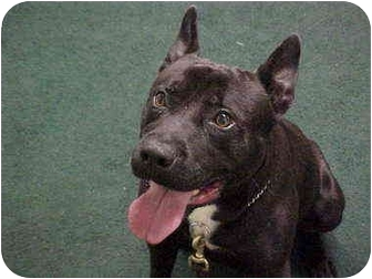 American Staffordshire Terrier/French Bulldog Mix Dog for adoption in Norwalk, Connecticut - Chip
