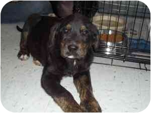 Hound (Unknown Type) Mix Puppy for adoption in Brazil, Indiana - Mikey