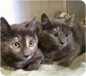 Calico Kitten for adoption in Whitestone, New York - bethany