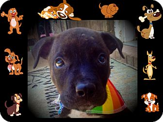 Boxer/Labrador Retriever Mix Puppy for adoption in Cranford, New Jersey - Channing