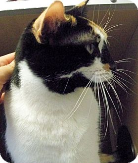 Calico Cat for adoption in Secaucus, New Jersey - Callie