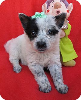 Australian Cattle Dog/Border Collie Mix Puppy for adoption in Irvine, California - Belle