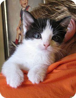 Domestic Shorthair Kitten for adoption in Kirkwood, Delaware - Moo