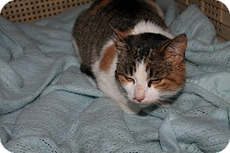 Domestic Mediumhair Cat for adoption in Attica, Indiana - Patches