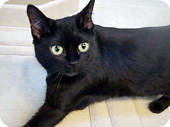 Domestic Shorthair Cat for adoption in Cincinnati, Ohio - Suki