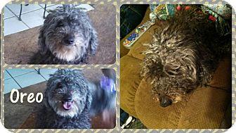 Poodle (Miniature)/Schnauzer (Miniature) Mix Dog for adoption in DOVER, Ohio - Oreo