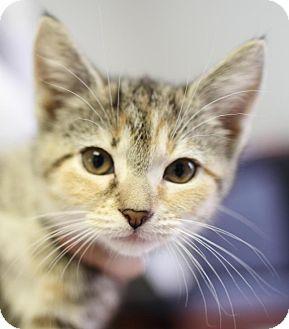 Domestic Shorthair Kitten for adoption in Winston-Salem, North Carolina - Hope
