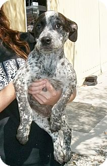 Australian Cattle Dog Mix Puppy for adoption in Martinsville, Indiana - Captain