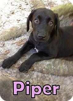 Labrador Retriever Mix Puppy for adoption in Groveland, Florida - Piper (12 weeks)