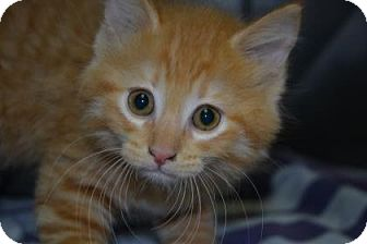 Domestic Shorthair Kitten for adoption in Edwardsville, Illinois - Pepsi