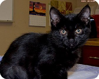 Domestic Shorthair Kitten for adoption in Medina, Ohio - Secretariat