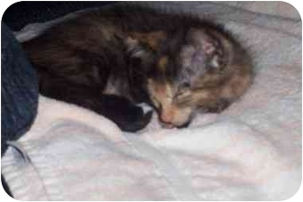 Domestic Mediumhair Kitten for adoption in Tualatin, Oregon - Goblin
