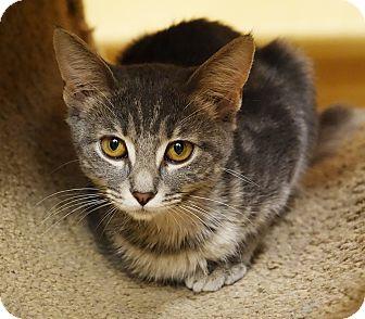 Domestic Shorthair Kitten for adoption in Glen Mills, Pennsylvania - Reba
