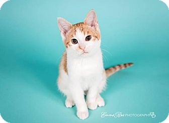 Domestic Shorthair Cat for adoption in Sterling Heights, Michigan - Miuccia