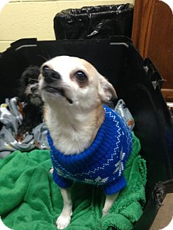 Chihuahua Dog for adoption in Portland, Indiana - Coco